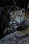 jaguar Showing Claws