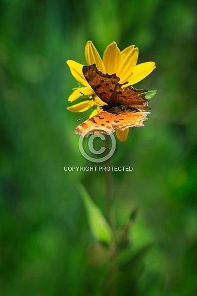 Hoary Comma Butterfly