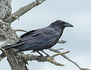 Common Raven in Alaska