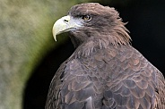 White Tailed Sea Eagle