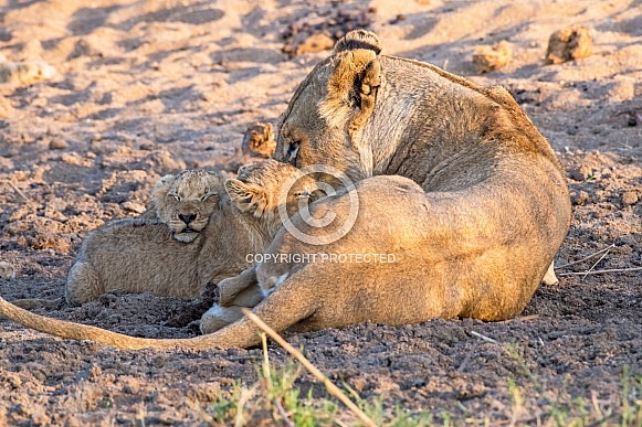 Lioness with Two Cubs