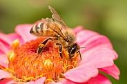European honey bee on zinnia.