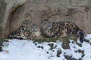 Snow Leopard with cubs in the Snow