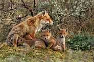 Family foxes