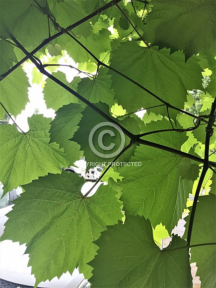 Ornamental Grape Leaves