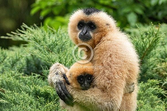 Golden Cheeked Gibbon Mum and Baby