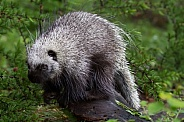 Juvenile Porcupine Foraging
