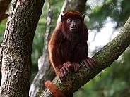 Venezuelan howler monkey Alouatta seniculus