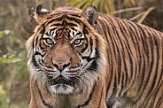 Sumatran Tiger Close Up Looking Forward