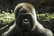 Western Lowland Gorilla Close Up Profile