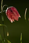Snakeshead Fritillary