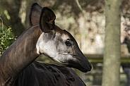 Okapi Head Shot Side Profile