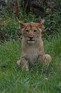 Lion Cub Sitting Up Looking At Camera