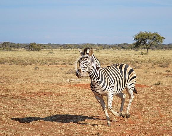 Burchell's Zebra Running