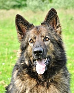 Old German Shepherd