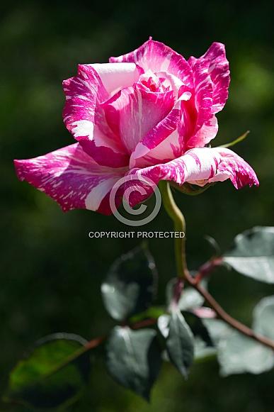 Candy stripe rose.
