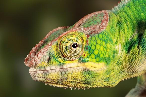 Chameleon in profile