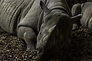 Black Rhino resting