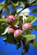 damsen fruits on tree
