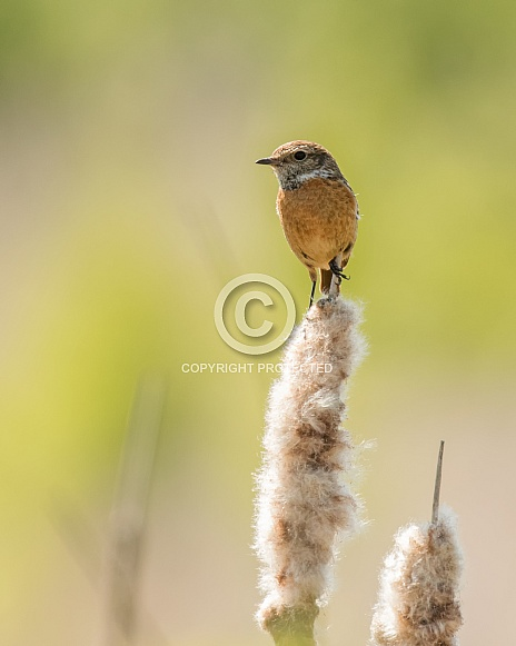 Female Stonechat on a Bulrush