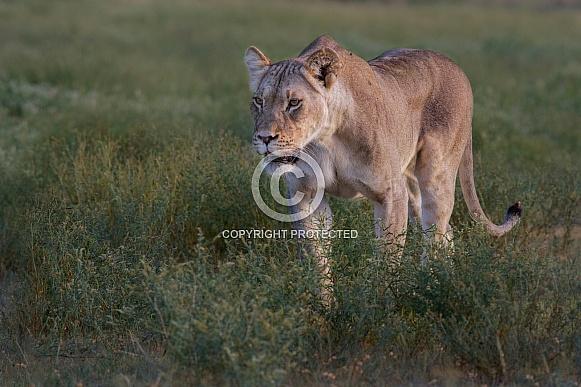 Lioness on hunt (wild)
