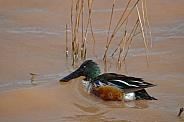Duck - Northern Shoveler