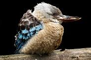 Blue Winged Kookaburra
