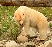 White Kermode Spirit Bear