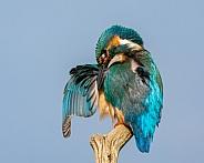 Female Kingfisher