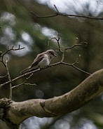 Spotted fly catcher