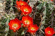 Claret Cup Cactus Flowers