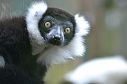 Ruff Tailed Lemur Eyes
