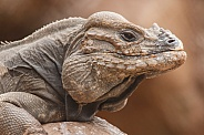 Rhinoceros Iguana Close Up