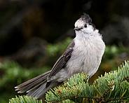 Canada Jay