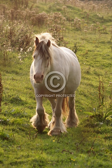 Pony walking in evening sunlight