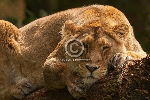 Dozing Lioness