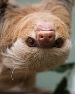 Hoffmans 2 toed Sloth