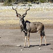 Kudu Antelope - Namibia
