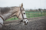Flea-bitten Grey Race Horse