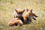 Red foxes playing in the grass