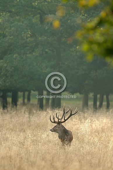 Red Deer in nature