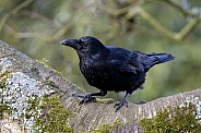 Carrion Crow (Corvus corone)