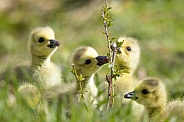 Canada Geese (Goslings)