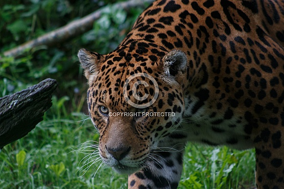 Jaguar Walking With Eyes Focused