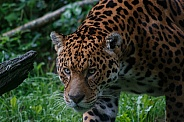 Jaguar Walking With Eyes Focused