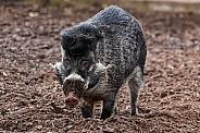 Male Visayan Warty Pig