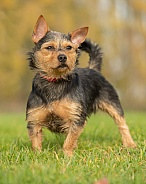 Black and Tan Terrier