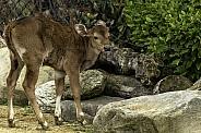 Banteng Cow
