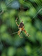 Cross back spider