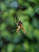 Cross back spider